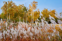 The white reed and autumn forest Stock Images