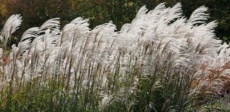 White Reeds In Wind Stock Image