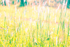 White reeds field Royalty Free Stock Photo