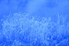 White reeds Royalty Free Stock Photo