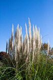 White reeds under the blue sky. Stock Image