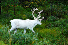 White Reindeer royalty free stock photography