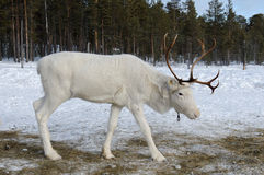 White reindeer Stock Photo