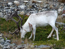 White reindeer Royalty Free Stock Photos