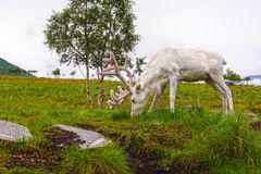 White reindeer or caribou on upland moor. Royalty Free Stock Photography