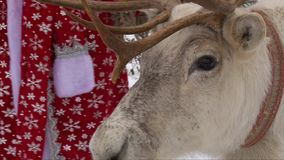 White reindeer chewing, eating from Santa Claus hand, closeup head shot. Reindeer close up head and face, chewing mouth, Santa Claus costume stock video