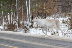 White reindeer crossing the road Royalty Free Stock Photo
