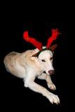 White reindeer Stock Photos