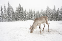 White reindeer eat on snowy field Stock Photography
