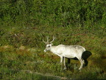 White reindeer at a forest border Stock Photos