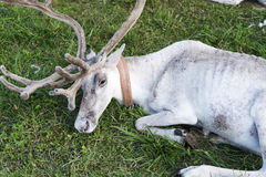 White reindeer lying on the grass. Royalty Free Stock Photos