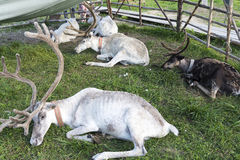 White reindeer lying on the grass. Royalty Free Stock Image