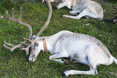 White reindeer lying on the grass. Stock Photos