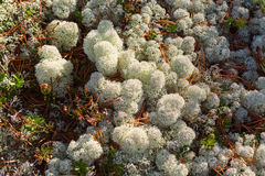 White Reindeer moss Royalty Free Stock Images