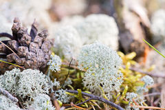 White reindeer moss photo Royalty Free Stock Photography