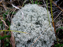 White reindeer moss photo Stock Photos