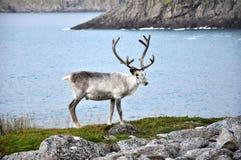White reindeer Royalty Free Stock Image