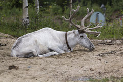 White reindeer. Resting in Finnish Lapland stock image