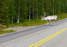White Reindeer on the road. Northern Finland Stock Photography