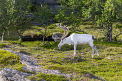 White reindeer of the Sami people along the road in Norway Royalty Free Stock Photo