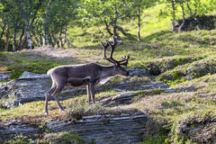 White reindeer of the Sami people along the road in Norway stock image