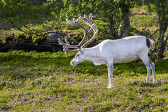 White reindeer of the Sami people along the road in Norway Stock Photos