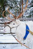 White reindeer in winter farm in Finnish Lapland. White reindeer in winter farm in Rovaniemi, Finnish Lapland Royalty Free Stock Photos