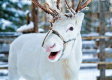 White reindeer at winter farm in Finnish Lapland. White reindeer at winter farm in Rovaniemi, Finnish Lapland Stock Photography