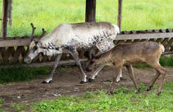 White reindeers. Royalty Free Stock Images