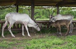 White reindeers. Royalty Free Stock Photos