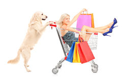 White retriever dog pushing a woman with shopping bags in a cart. Isolated on white background stock images