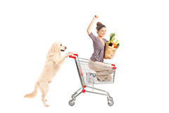 White retriever dog pushing a woman in a shopping cart. Isolated on white background royalty free stock image