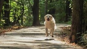 A white Retriever dog runs through the Park in summer or early autumn.