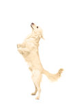 White retriever dog standing upright on his legs. On white background Stock Photography