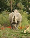 White Rhino. Portrait of a White Rhino Stock Photos