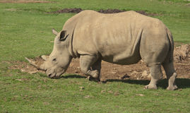 White Rhino. A wonderful male white Rhino wandering around looking for food Stock Photo