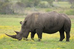 White Rhino. Large male white rhino grazing in the open grassland Royalty Free Stock Image