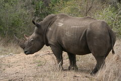 White Rhino. Large male white rhino listening Stock Images