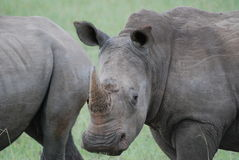 White Rhino. A pair of white rhinos look up from grazing Royalty Free Stock Photography