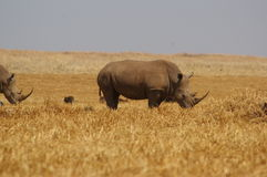 White Rhino. Rhino grazing in nature reserve in the west of Johannesburg, South Africa on sunny winter's day Stock Photos