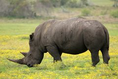 White Rhino. Large male white rhino grazing in the open grassland Royalty Free Stock Photography