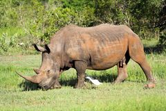 White Rhino. In the African bush followed by an egret Stock Photos