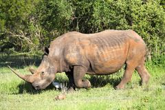 White Rhino. In the African bush Royalty Free Stock Image