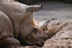 Free White Rhino Royalty Free Stock Images - 12658129