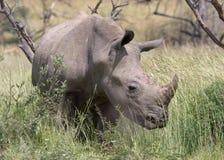 White Rhino. In long grass stock photos