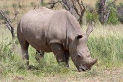 White Rhino. Browsing, South Africa stock photo