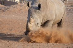 White Rhino making a claim for its turf! royalty free stock photography