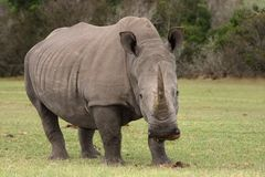 White Rhino. Huge white rhinocerous with big horn and wide flat mouth Royalty Free Stock Photo