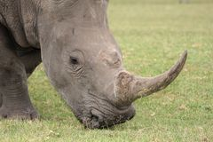 White Rhino. Large white rhino with huge curved horn Stock Image