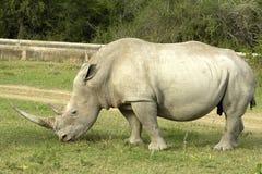 White Rhino. Large horn White Rhino grazing Shamwari Game Reserve Eastern Cape South Africa stock photos